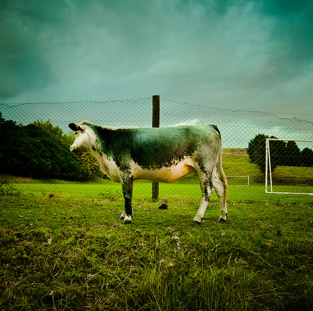 Photo of cow By ►CubaGallery3