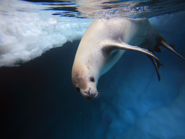 crabeater-seal-underwater