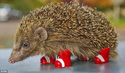 porcupine with socks