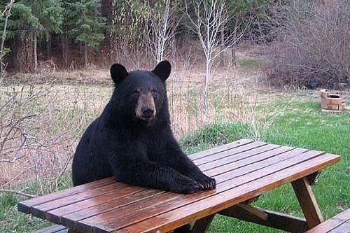 bear sitting at the table