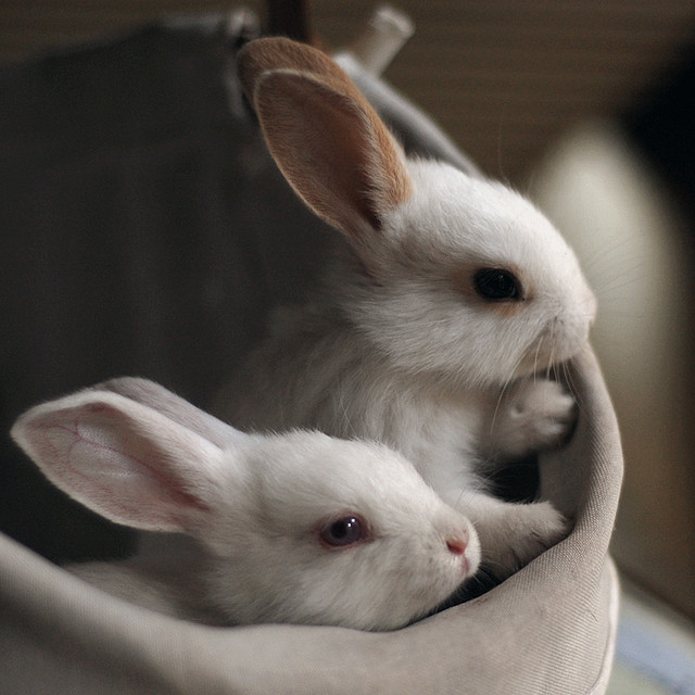 Two Baby bunnies in a sack